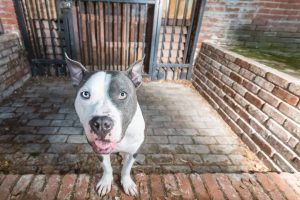 Pit Bull dog in front of steel door