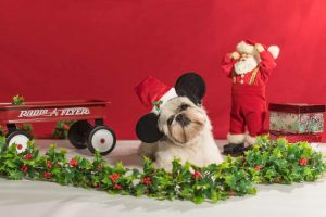 Leo, a shih tzu dog, in photo with holiday props