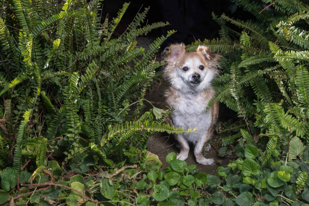 Waffles, a Tibetan Spaniel dog, looking out from ferns