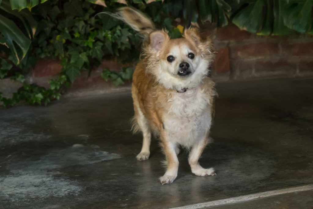 Waffles, a Tibetan Spaniel dog, on backyard porch