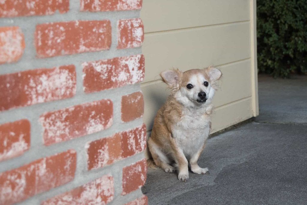 Waffles, a Tibetan Spaniel dog, sitting by bricks