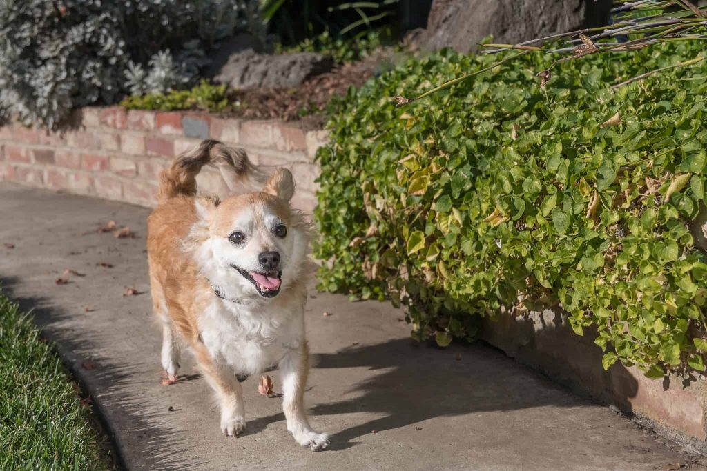 Waffles, a Tibetan Spaniel dog, trotting along a walkway by brick planter